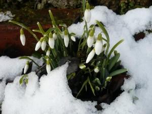 Perce neiges Marité